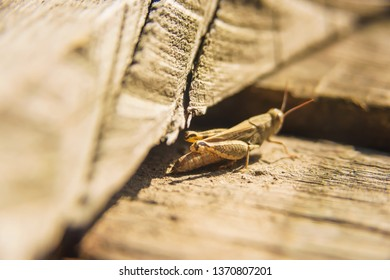 Grasshopper sitting on wooden boards. The insect walks on the surface of wood. A small light grasshopper on a piece of wood.