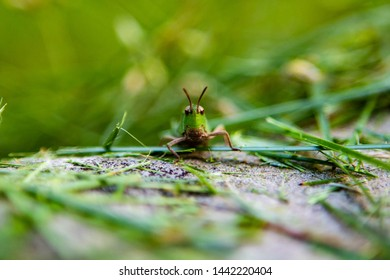 Grasshopper Smile macro photograph of a large green and brown grasshopper facing the camera and appearing to smile while walking towards it across a rock covered in grass in summer in Connecticut USA