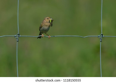 Grasshopper Sparrow perched on a page wire fence holding a caterpillar in its bill. Carden Alvar Provincial Park, Kawartha Lakes, Ontario, Canada.