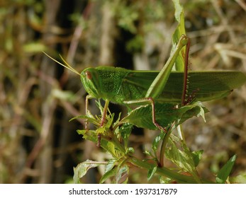 Grasshopper is a species of chewing herbivorous insects.