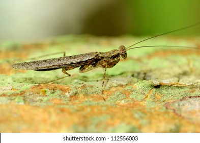 Grasshopper in tropical forest.