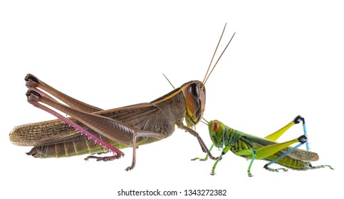 Grasshopper in various forms white background