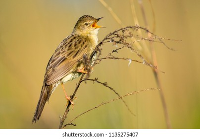 Grasshopper warbler. Locustella naevia.Diffused background.Bird of Europe.Poland