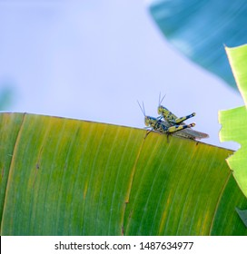 grasshoppers in act of sexual  reproduction on a banana tree close up