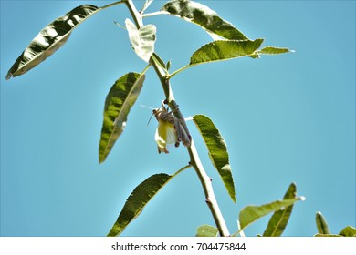 Grasshoppers changing skin on a branch,