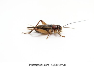 Grasshoppers or Crickets on a white background. Is an insect in the group of grasshoppers in Thailand.