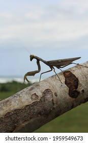 Grasshoppers is a insect.The color of the grasshopper is black, resembling the stem.
