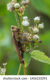 Grasshoppers on the leaves Assimilate with nature