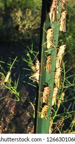 Grasshoppers on T post