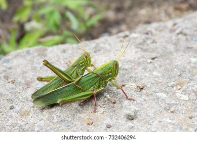 Grasshoppers reproducing on the great wall of china