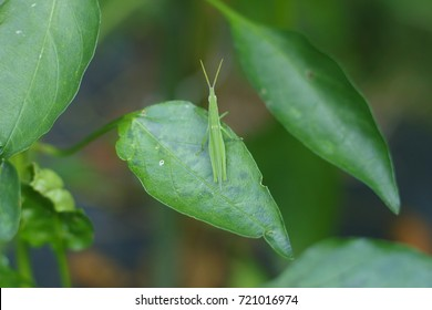 Grasshoppers stopped on leaves