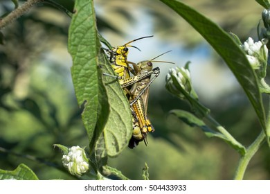 Grasshoppers are united in the plant.