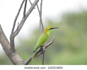 Grassland bird Green Bee-Eater bird sitting on stem, Green bee eaters are richly colored.