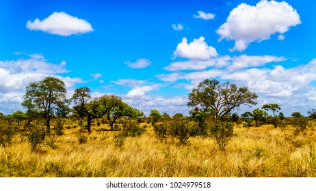 Grassland and Trees in the Savanna landscape in Kruger National Park in South Africa