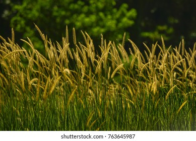 grassland. Wild grass in the morning sunlight. shallow dept of field. ideal use for background.natural background