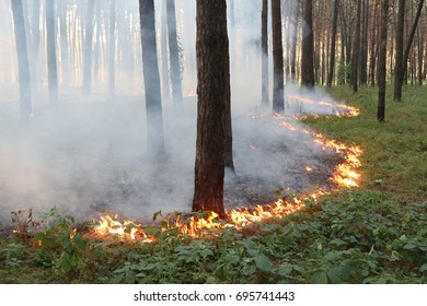Grassroots fire in a pine forest.