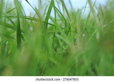 Grassroots, Fresh grass with dew drops close up