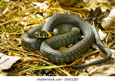 grass-snake on the ground