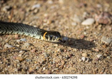Grass-snake portrait