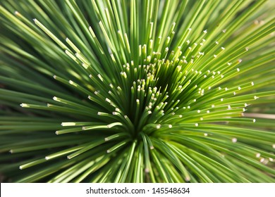 Grass-tree Leaves Spikes