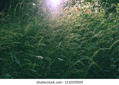 Grassy fields of Czech Republic with sunlight shining all around. Blooming grassy involved.