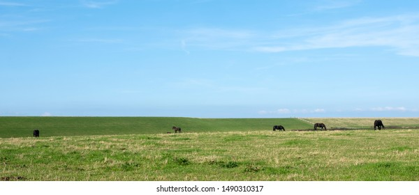 grassy landscape with horses under blue sky in dutch province of friesland on panoramic picture