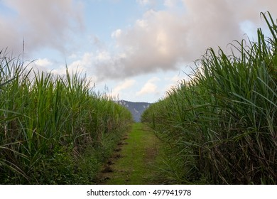 Grassy path between two cane fields. Cloudy sky in background, mountains in distance on horizon. Typical cloudy day.