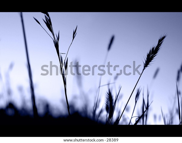 Grassy plants silhouetted in front of a blue/purple sky. Widescreen look.