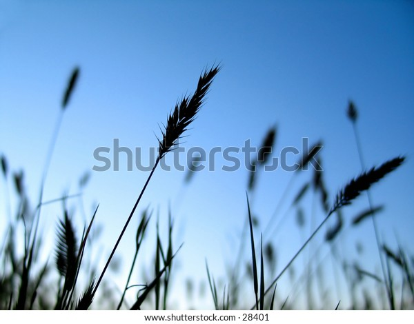 Grassy plants silhouetted in front of vibrant blue sky.