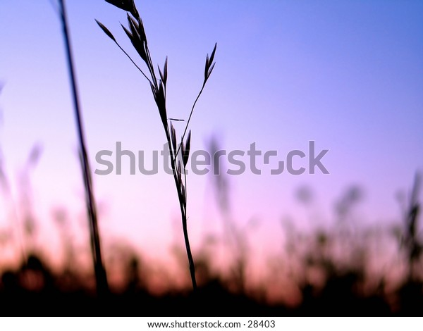 Grassy plants silhouetted in front of vibrant blue/purple sky.