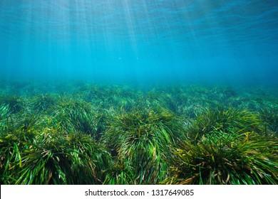Grassy seabed underwater in the Mediterranean sea, neptune grass Posidonia oceanica, Cabo de Gata Nijar, Almeria, Andalusia, Spain