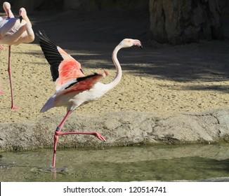 Grater flamingo Phoenicopterus ruber