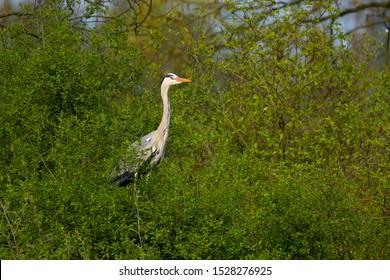 Graureiher ( Ardea cinera )  - Shutterstock ID 1528276925