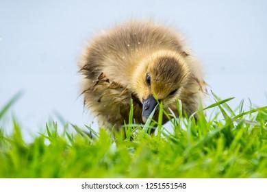 Grauwe Gans, Greylag Goose, Anser anser;