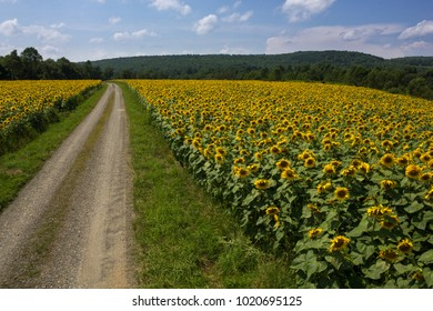 Gravel Road Leading Into A Large Field Of Sunflowers