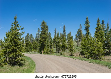Gravel road leads through green pine forest in mountains of Wyoming.