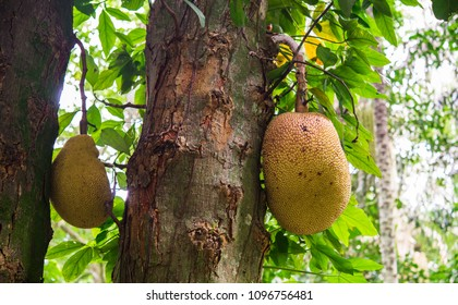 Graviola exotic fruit growing on a tree in a tropical jungle