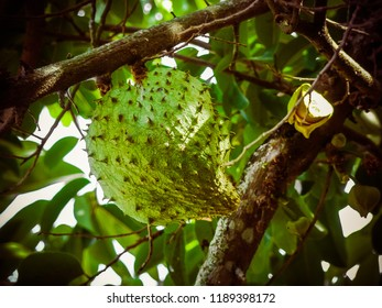 Graviola, scientific name Annona muricata, plant native to the Antilles, where it is in the wild.