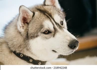 Gray Adult Siberian Husky Dog (Sibirsky husky) close up portrait