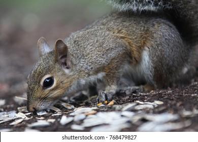 gray american squirrel
