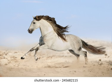 gray Andalusian horse in desert
