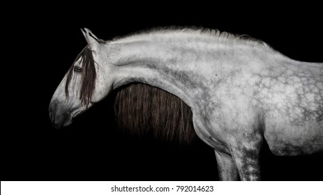 Gray andalusian horse with long mane isolated on black background