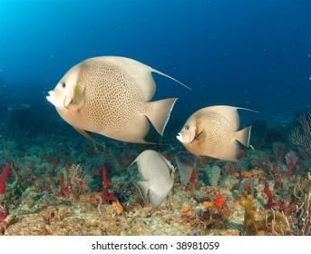 Gray Angelfish on the Boynton Reef