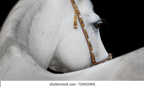 Gray arabian horse closeup on black background isolated