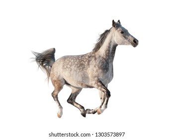 Gray arabian horse isolated, galloping