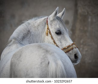 Gray arabian horse look back on light background isolated