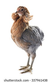gray araucana chicken in front of white background