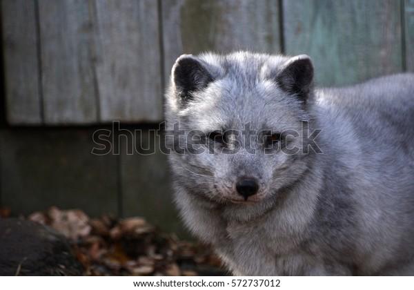 Arctic fox gray