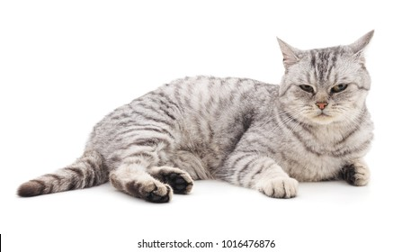 Gray beautiful cat isolated on a white background.