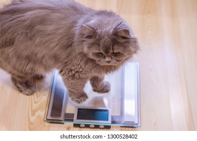 The gray big long-haired British cat sits near the scales. Concept weight gain during the New Year holidays, obesity, diet for the cat.